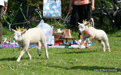 Het beroemde Texelse lam huppelde met trots en een kroontje op het Oudeschilder voetbalveld in de rondte