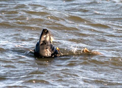 Met een beetje geluk en geduld duiken ze zo voor je op in - of buiten de haven. Deze kegelrob geniet van een maaltje verse vis.