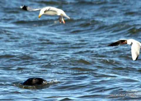 Na de jaarlijkse telling door IMARES is geconstateerd dat in de Waddenzee een kwart meer grijze zeehonden voorkomen in vergelijk met vorig jaar. De grijze zeehond of kegelrob die van oorsprong vanuit de Engelse wateren komt blijkt het afgelopen jaar met vierhonderd exemplaren te zijn toegenomen. De telling met een vliegtuig leverde 2108 exemplaren op.