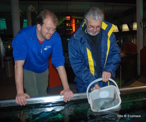 Door de schipper Johan Hutjes van de TX 35 Zeester werd maandag zijn op de Waddenzee gevangen trekkersvis losgelaten in één van de aquaria van Ecomare.