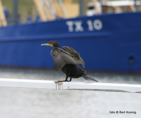 Begin 2010 vertrok de Texelse vissersvloot weer vol goede moed voor de eerste week naar zee. Deze aalscholver hoopt ook weer op een goeie vangst in- of rond de haven van Oudeschild.
