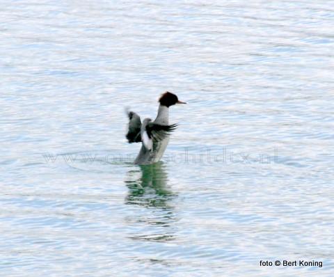 Terwijl met de vorst en vele vogels het moeilijk hebben om voedsel te vinden duiken er ook niet allerdaagse soorten op. Zoals hier de grote zaagbek in de haven van Oudeschild. Een soort wat zijn broedgebied heeft in voornamlijk noordelijk Europa.