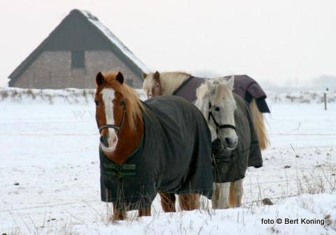 Niet alleen voor de vogels was de afgelopen vorstperiode een moeilijke tijd. Ook deze paarden op het Hoge Berggebied nabij Oudeschild moesten de kou trotseren. Voorzien van een warme deken waren ze in afwachting op de dagelijkse voedertijd.