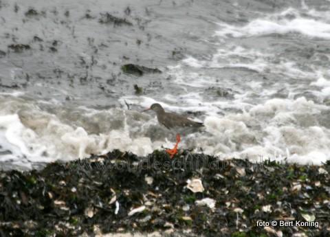 Deze talrijke weidevogel, met zijn herkenbare oranje poten en snavel, zoekt hier zijn voedsel bij elkander langs de branding van de winterse Waddenzee.