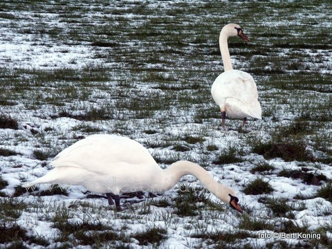 Op de Hoge Berg nabij Oudeschild zoeken deze wilde zwanen naar het éérste jonge gras als voedsel.