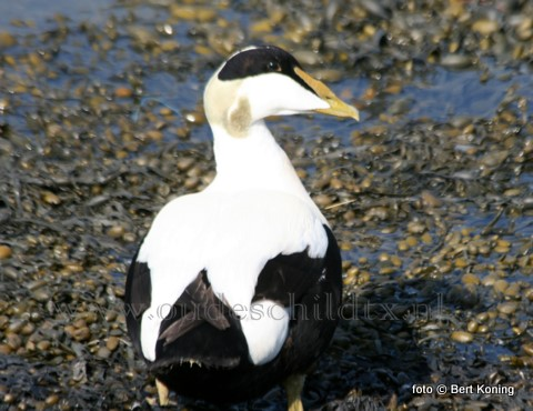 Zowel in de werk- als Waddenhaven is deze eendensoort vaak talrijk. Dit volwassen mannetje, inmiddels al weer in  prachtkleed, broedt masaal hier in het Waddengebied en voedt zich met mossels of kokkels