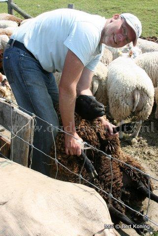Met deze zomerse temperaturen zijn de Texelse schapenscheerders ook weer actief op het eiland. Aan de IJsdijk even buiten Oudeschild trekken ze zeker de aandacht als ze dagelijks zo'n 80 tot 100 Texelaars van het meest beroemde ras ter wereld 'uit hun warme vachtje' helpen.