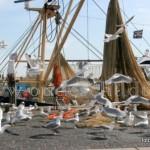 Aan belangstelling had de 'Res Nova' van Rick Koning en Eric Boersen donderdag na binnenkomst geen gebrek. Als het netwerk van de TX 42 voor controle en reparatie op de kant wordt getrokken storten de meeuwen zich massaal op de overblijfselen in het netwerk van de garnalenvisser.