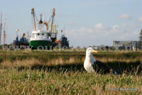 Maandagmiddag werd bij scheepwerf Visser op Oudeschilld de bijna 43 meter lange sumwinger 'Henderik Petronella' droog gezet. De kotter van Bais BV uit Den Helder kwam naar Texel voor een 'knip- en scheerbeurt'. En tevens vindt er de 5 jaarlijkse SI-keuring plaats.