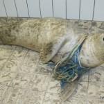 grijze-zeehond-visnet-1