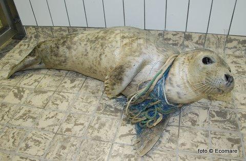 Zondagavond werd op het Texelse strand bij Paal 12 een jonge grijze zeehond verstrikt in een visnet aangetroffen. Het net rond haar nek had een grote, diepe wond veroorzaakt. Waarmee de Ecomare-medewerkers uren bezig zijn geweest om dit te verwijderen. Hoewel dit goed lukte blijft het de vraag als de zeehond het gaat halen. Mede omdat (de vernoemde) 'Larska' ook een fikse onsteking aan de achterflipper heeft.