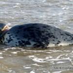zeehond-met-zwerfvuil