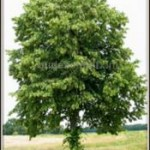 Hollandse_linde__Tilia_x_vulgaris__Common_lindenimg_4993-001