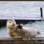 zeehond Henk