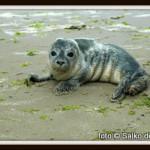 zeehonden-op-strand-klein