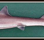 mustelus-mustelus gladde haai