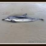 images gestreepte dolfijn Ameland-001
