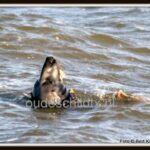 1-zeehond