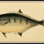 1-gaffelmakreel-wikimedia-public-domain-A_history_of_the_fishes_of_the_British_Islands_Pl._XCV_7929461820