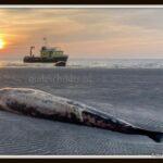 De-aangespoelde-dwergvinvis-Foto-Rijkswaterstaat